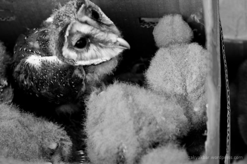 owl by zaky akbar